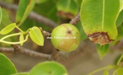 Njihuni me mollën vdekjeprurëse