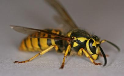 Bleta insekt shumë sherues